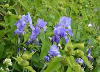 Lovely blue Iris in flower