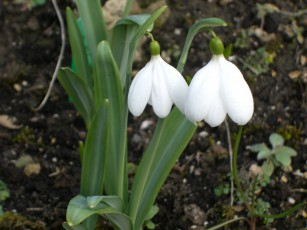 Another snowdrop